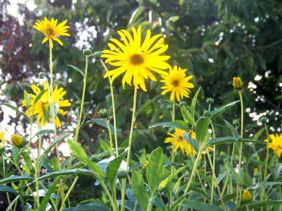 Grande Fleur Jaune Liste Des Arbustes A Fleurs Jaunes Collegecalvet66