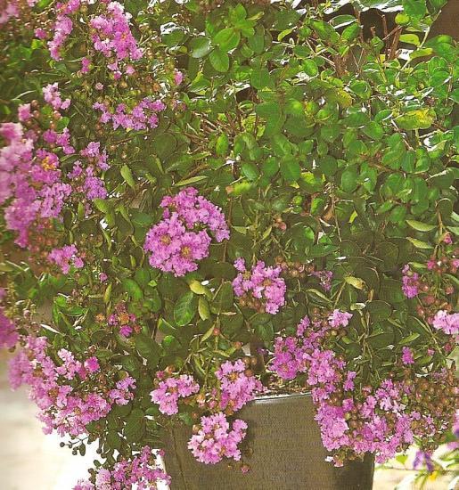 Le lilas des indes - Le lilas des indes ...