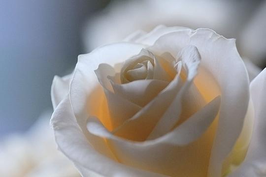 à mediter Rose-543623