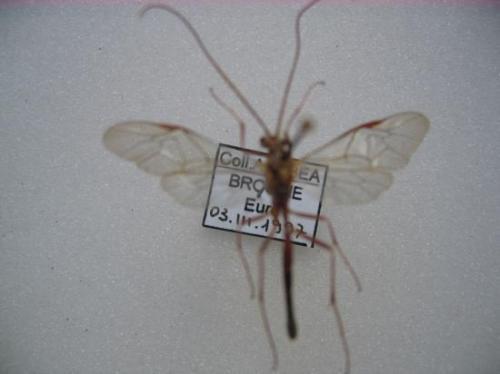 Ophion obscuratus Fabricius Coll. Leg. Photo A.M.B / Det. C. Villemant