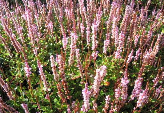 Vivaces couvre sol pour situation ensoleill - Petites fleurs roses vivaces ...
