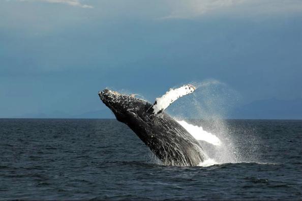 Saut d`une baleine à bosse