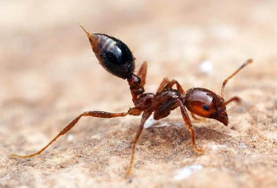 La fourmi rouge - Fourmi rouge et tamanoir ...