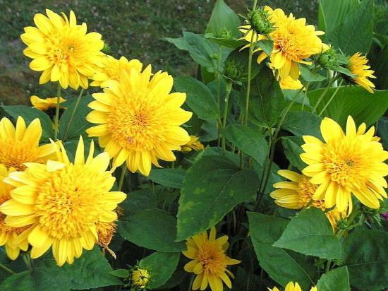 Fleurs jaunes vivaces hautes - Fleurs vivaces longue floraison ...